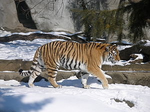 Siberian Tiger from the Detroit Zoo.