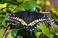 Tiger swallowtail (37964421591).jpg