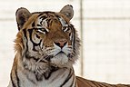 Tiger tuzoofari2018p3.jpg