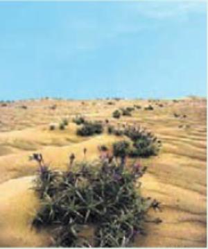Raunkiær plant life-form - Tillandsia landbeckii, an aerophyte