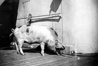 Tirpitz (pig) - Tirpitz aboard HMS Glasgow