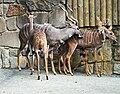 Tragelaphus imbersis Dvur zoo 3.jpg