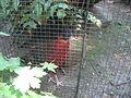 Tragopan satyra in Burgers' Zoo (Park) (3).JPG