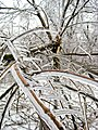 Tree-Ice Storm-Dec 2007-St Jo MO.jpg