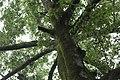 Tree canopy (5494221359).jpg