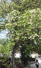 Tree in bloom in Cuenca de Manzanares.jpg