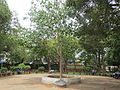 Tree planted by Abdul Kalam.jpg