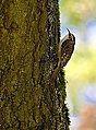 Treecreeper (8402945268).jpg