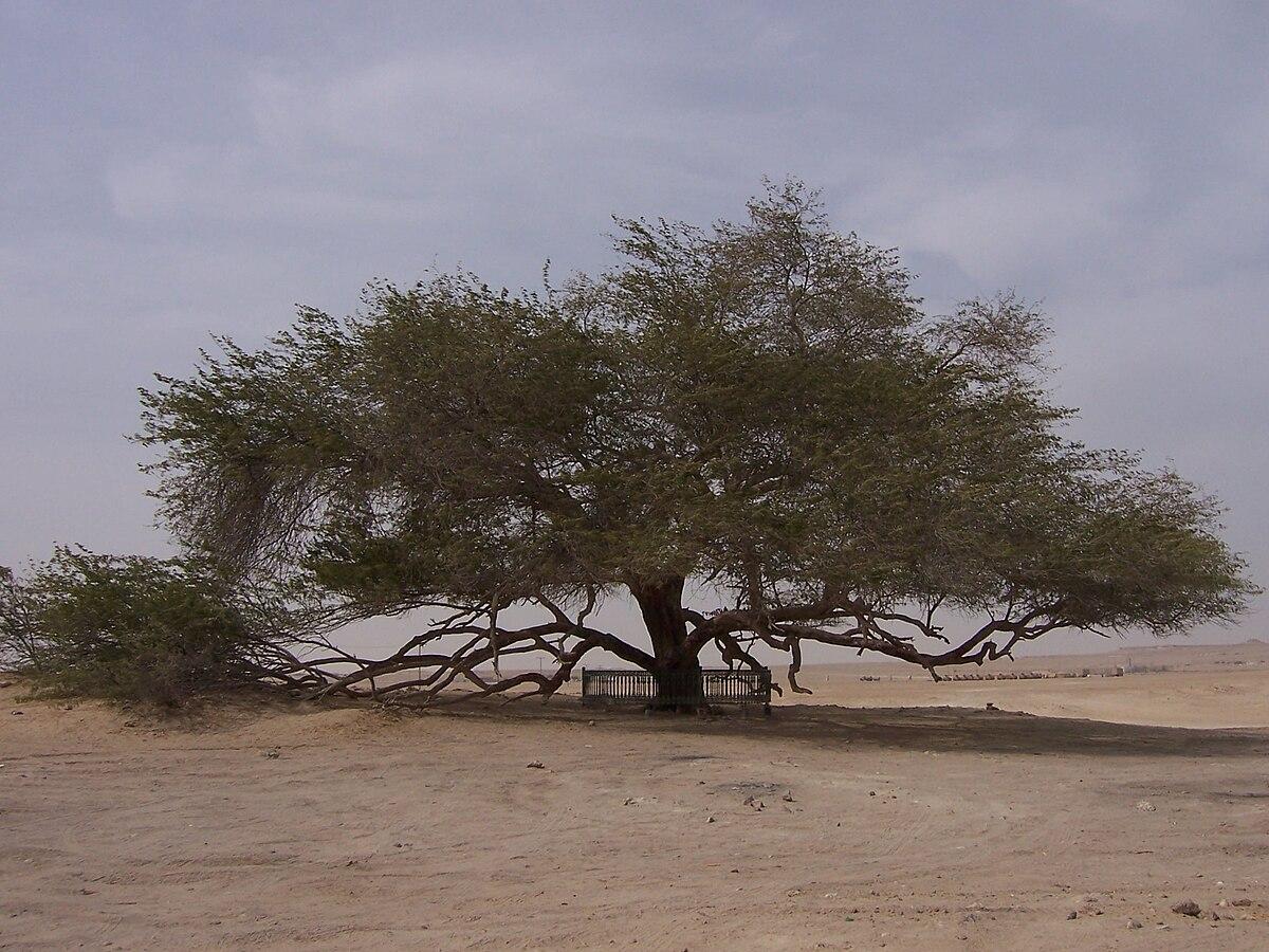 فوائد شجرة المورينجا ويكيبيديا Shajara