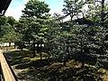 Trees near Ninomaru-Goden Hall of Nijo Castle 2.JPG