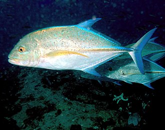 Bluefin trevally - Image: Trevally Nick Hobgood