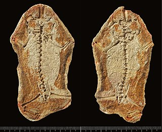 <i>Triadobatrachus</i> genus of tetrapods, whose living forms include frogs, toads, salamanders, newts and caecilians
