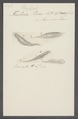 Trichoda piscis - - Print - Iconographia Zoologica - Special Collections University of Amsterdam - UBAINV0274 113 18 0020.tif