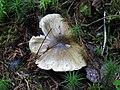Tricholoma viridilutescens-163331.jpg