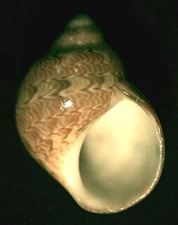 <i>Tricolia</i> genus of molluscs