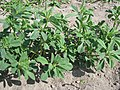 Trigonella foenum-graecum - Гуньба сінна.jpg
