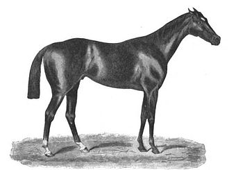 Tristan (horse) - Tristan in a drawing by John C. Nimmo