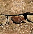 Troglodytes troglodytes indigenus Dornoch Sutherland.jpg