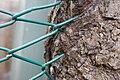 Tronc d'arbre engloutant une cloture.jpg