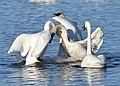 Trumpeter Swan (31044646221).jpg
