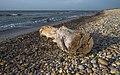 Trunk aground, Vic-la-Gardiole.jpg
