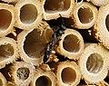 Trypoxylon figulus sensu lato (35734306686).jpg