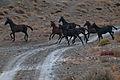 Turkmen Studfarm - Flickr - Kerri-Jo (53).jpg