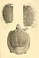 Turtle sketches of British India.jpg
