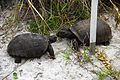 Two male Gopherus polyphemus tortoises face-off. There are two females a short distance behind the larger male. - Flickr - Andrea Westmoreland.jpg