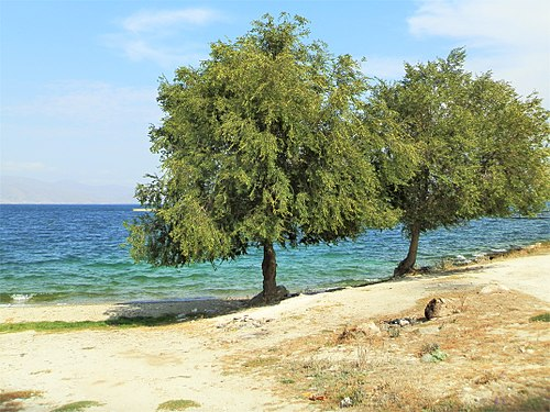Two trees on the shore of Lake Sevan.jpg