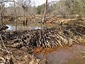 UMFS beaver dam.JPG