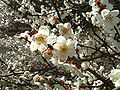 Ume blossom 2005.03.14.jpg
