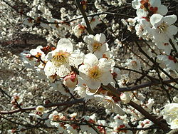 Close up of ume blossoms