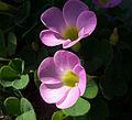 Unidentified flower09.jpg