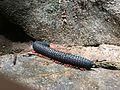 Unidentified millipede Kallar reserve forest, Kerala .jpg