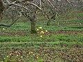 Unpicked apples - geograph.org.uk - 647407.jpg