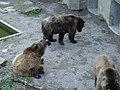 Ursus arctos arctos in Bärengraben (1).jpg