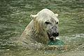 Ursus maritimus at the Bronx Zoo 008.jpg