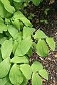 Uvularia grandiflora 7zz.jpg