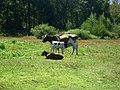 Vaca y su ternero en Valle de las Catas en Radal Siete Tazas.jpg