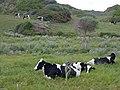 Vacas.(2).Carretera de Favàritx.Mahón.Menorca.jpg