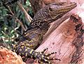 Varanus bitatawa (KU 322188) from Barangay Dibuluan, San Mariano - ZooKeys-266-001-g069.jpg
