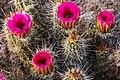 Vartious cactus flowers in Saguaro Nat. Monument near Tuscon, Ariz. (7334036308).jpg