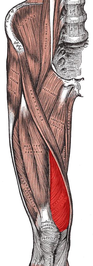 Vastus medialis muscle.png