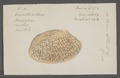 Venus litterata - - Print - Iconographia Zoologica - Special Collections University of Amsterdam - UBAINV0274 077 12 0033.tif