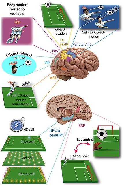 Vestibular cortices and spatial cognition.jpg