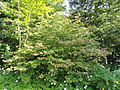 Viburnum plicatum - Botanischer Garten, Frankfurt am Main - DSC03303.JPG