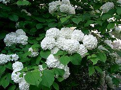 Viburnum plicatum var plicatum2.jpg