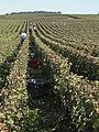Vigne Pinot Noir (Cerseuil) Cl.J.Weber06 (23569192992).jpg