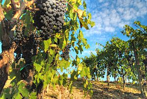 Abrusco - Throughout Tuscany, Abrusco is usually blended with Sangiovese (pictured) to add a deeper color to the wine.